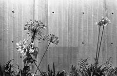 Agapanthus (odeleapple) Tags: olympus om1 zuiko autos 50mm yellowfilter kodak400tx film monochrome bw agapanthus flower wall