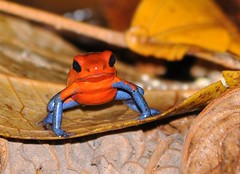 Strawberry poison-dart frog (anacm.silva) Tags: strawberrypoisondartfrog frog rã wild wildlife nature natureza naturaleza anfíbio guápiles costarica sarapiqui