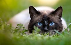 Blue eyes (svklimkin) Tags: cat hunter siam pet eyes blue svklimkin portrait nature closeup look