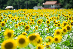 君田のひまわり畑 (hs_8585) Tags: k3ii da50135mmf28 hiroshima 広島 miyoshi 三次 flower ひまわり