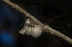'Araneus' albotriangularis (dustaway) Tags: arthropoda arachnida araneae araneomorphae araneidae araneinae araneusalbotriangularis orbweaver australianspiders spinne araignee australianwildlife goonellabah northernrivers nsw australia