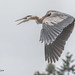 0K8A7193    16 (pete#1) Tags: heron blue creek french parksville