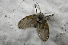 Die Schmetterlingsmücke (Psychoda grisescens) wird auch Abortfliege genannt.... dort habe ich sie heute auch gefunden :-) (AchimOWL) Tags: abortliege insekt insekten insecta nematocera mücke zweiflügler diptera postfocus gx80 panasonic lumix stack stacking nahaufnahme natur nature tier animals wildlife schärfentiefe ngc outdoor makro macro macrodreams deutschland