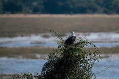 Observer (knipslog.de) Tags: chobe choverriver river eagle hunter botswana botsuana safari adventure wildlife wild animals selfdrivesafari