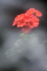 Hazy Geranium (lclower19) Tags: 522017 2952 geranium diy plasticwrap hazy coral