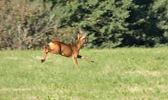 Rådyr / Roe deer 18.07.17 (Inger Bjørndal Foss) Tags: deer roedeer