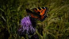 """ Bron-Yr-Aur "" (hope2029) Tags: tortoiseshell butterfly sunshine shadows purple thistle micklefield west yorkshire"