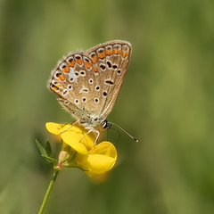 On a flower .... at last (FocusPocus Photography) Tags: schmetterling butterfly bläuling commonblue blume flower insekt insect sommer summer tier animal