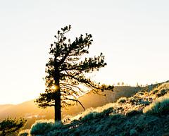 San Gabriel Sunset (PeterStout) Tags: pentax6x7 pentax105 kodakektar100 ektarpushed ektar100 sunset ishootfilm mountains tree sunstar