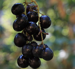 Grapes (Sappho et amicae) Tags: grapes fruit flora food sapphoetamicae