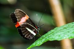 20170715-IMG_7331 (SGEOS@EARTH) Tags: vlindertuin vlinder vlinders butterfly butterflies vlindersaandevliet observer colorfull insects nectar indoor nature wildlife canon macro 100mm