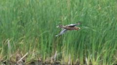 Northern shoveler in flight (m2onen) Tags: northernshoveler anasclypeata shoveler bird duck bif inflight waterfowl fying birding birdwatching sony a6300 sal70400g laea3 70400g