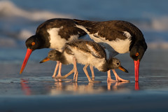 American Oystercatchers (Jesse_in_CT) Tags: americanoystercatcher nikon200500mm