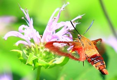 hummingbird clearwing (Hemaris thysbe) at Fish Farm Mounds State Preserve IA 854A2184 (lreis_naturalist) Tags: hummingbird clearwing moth hemaris thysbe nectaring wild bergamot fish farm mounds state preserve allamakee county iowa larry reis