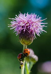 Under a Thistle (Will Gell) Tags: ladybird ladybirds thistle cotty burn east lothian scotland insect ladybug nikon d7000 tamron 1770mm will gell