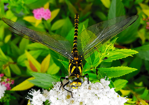 Black And Yellow Dragonfly (1)