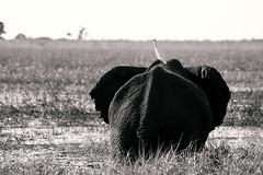 Bird carrier (knipslog.de) Tags: big5 bigfive elephant birds taxi choberiver river blackwhite bw botswana botsuana safari adventure wildlife wild animals selfdrivesafari