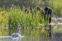 Rocky Mountain Trumpeter Swan (Cygnus buccinator) and Bull Moose Ignore Each Other - Polecat Creek - Grand Teton National Park (Jim Frazee) Tags: rockymountaintrumpeterswan cygnusbuccinator grandtetonnationalpark