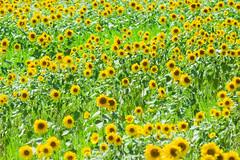 ひまわり畑 (hs_8585) Tags: k3ii da300mmf4 hiroshima miyoshi 広島 三次 flower
