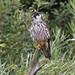 DSP01523 - Hobby  (Falco subbuteo) (fotodave22) Tags: