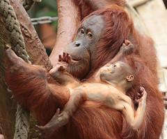 borneo orangutan Lea and Suria Krefeld BB2A1023 (j.a.kok) Tags: lea suria orangutan orangoetan borneoorangutan borneoorangoetan borneo azie asia mammal monkey mensaap aap ape animal zoogdier dier krefeld