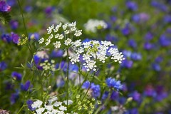 The Horniman Museum and Gardens (Adam Swaine) Tags: summer flora flowers gardens londonparks london colours england english britain petals uk canon purplegreen beautiful seasons