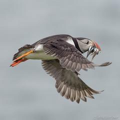 Fly past (Sue MacCallum-Stewart) Tags: skokholm flight puffin sandeels nature wildlife pembrokeshire bird wild
