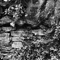 _7192528.jpg (sylvain.collet) Tags: france olympus bataille noiretblanc nature antagonisme battle lesaillant mur correze pierresseches trunk tronc