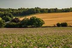 Summer Fields (ianbonnell) Tags: fields rural billinge sthelens merseyside lancashire england