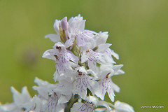 Common Spotted Orchid. (mcgrath.dominic) Tags: commonspottedorchid orchid theburren wildflowers coclare
