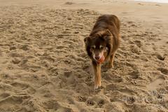 SZP_8820_pslr5 (Lakeside Annie) Tags: 2017 20170719 aussie australianshepherd bethanybeach bethanybeachde bethanybeachdelaware d7100 delaware denali july19 leannefzaras nikon nikond7100 redtri redtriaussie sarazphotography sigma sigma1770mm wednesday beachdog dog sandynose sandypaws beach delawarebeach