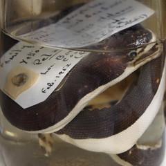 Preserved Sea Snake (Seeing Visions) Tags: 2017 unitedstates us california ca longbeach californiastateuniversityatlongbeach csulb sharklab atlasobscuraevent jar preserved seasnake label liquid reflection square raymondfujioka