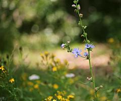 Summer mood (Magreen2) Tags: meadow summer flower blur bokeh blue green season mood weather sun sunny sonnig warm sommer stimmung blumen wiese