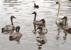 ~ swan lake ~ (A4ANGHARAD) Tags: s8650 fuji a4angharad macevans swantales swans cygnets