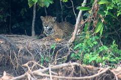 Jaguar (helmutnc) Tags: hennysanimals hg specanimal sweetfreedom