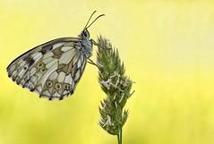 Schachi (HelmiGloor) Tags: schachbrettfalter schmetterlinge tagfalter butterfly insekten insecta wildlife olympusomdem1mkii olympusmzuikodigitaled60mm focusstacking focusbracketing macro makro melanargiagalathea