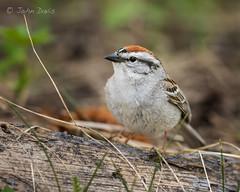 Chipping Sparrow 20170529_6516 (GORGEous nature) Tags: chippingsparrow hoodriverco oregon passerine sparrows spizellapasserina spring vertebrates bird foraging mhnf may ©johndavis