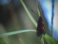 zygène (bulbocode909) Tags: zygènes insectes nature papillons herbe vert bleu rouge valdanniviers valais suisse