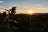 Good morning sun (grundi1) Tags: sony alpha 68 ilca sonnenblumen sonnenaufgang bad erlach sunflowers sunrise sigma1770f2845dcmacro verlaufsfilter flower blume nature vanagram orange sigma 1770 f2845
