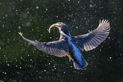Kingfisher (peterspencer49) Tags: peterspencer peterspencer49 kingfisher bird fish fishing backlit uk