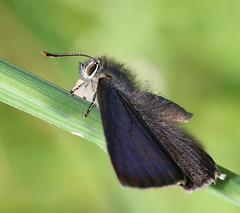 male purple hairstreak (andy_porter69) Tags: purple hairstreak purplehairstreak open wing macro butterfly