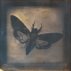 butterfly (biancavanderwerf) Tags: cyanotype toned square paper paint butterfly brown experimental analoge analogue analog glass film negative oldfashioned