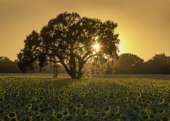 The Mighty Oak (pixelmama) Tags: california davis pixelmama sunflowerfields sunflowers yolocounty