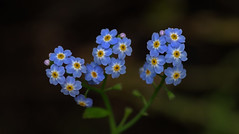 july19 2017 3 (Delena Jane) Tags: delenajane dfo flowers forgetmenot pentaxart newfoundland ngc canada closeup tiny 100mm