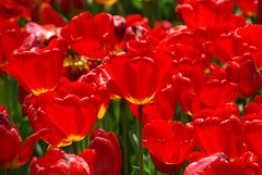 Burning color! (Niagara Moon) Tags: burning color red tulip 国営昭和記念公園 showacommemorativenationalgovernmentpark showa commemorative national government park may vivid dusk