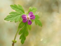 The Demure and the Sweet (miss gecko) Tags: flower garden geranium pink demure sweet macro