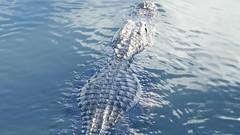 Alligator spotting (PeterCH51) Tags: usa us florida everglades np nationalpark alligator gator movie peterch51 video anhingatrail evergladesnationalpark