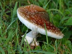 After a few rainy days.... (joeke pieters) Tags: 1350367 panasonicdmcfz150 paddenstoel paddestoel mushroom toadstool fungi druppels drops droplets