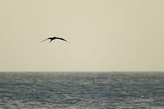 19 juillet 20172 (plovemax) Tags: france guadeloupe sunset frégate superbe oiseau bird fregata magnificens frenchwestindies couche soleil