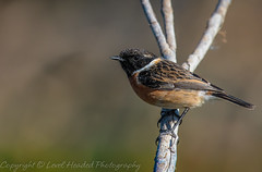 Stonechat - Male (Saxicola torquata) 'Z' for zoom (hunt.keith27) Tags: striking black heads saxicolatorquata stonechat male canon spain orangered breasts mottled brown back orange tinge flickingtheirwings two stones being tapped together